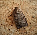 Six-striped Rustic. Xestia sexstrigata (2) (44816863685).jpg