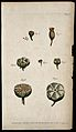 Six figures of whole and sectioned fruits showing arrangemen Wellcome V0044019.jpg