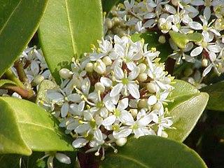 <i>Skimmia japonica</i> species of plant