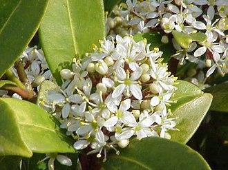 Skimmia - Skimmia japonica subsp. reevesiana