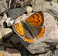 Small Copper. Lycaena phlaeas. Early brood. - Flickr - gailhampshire (1).jpg