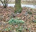 Snowdrops (Galanthus nivalis) - geograph.org.uk - 1759766.jpg