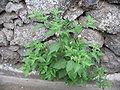 Solanum chenopodioides (Habitus).jpg