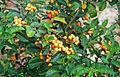 Solanum diphyllum - USDA ARS 2.jpg