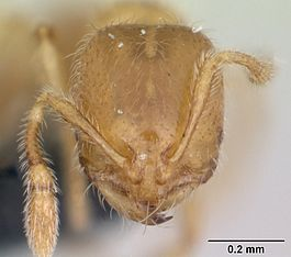 Solenopsis fugax casent0173147 head 1