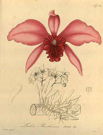 Cattleya lobata - Image: Sophronitis lobata (Laelia lobata) (as Laelia boothiana) Xenia 1 91 (1858)