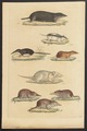 Sorex talpoides - 1700-1880 - Print - Iconographia Zoologica - Special Collections University of Amsterdam - UBA01 IZ20900095.tif