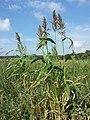 Sorghum bicolor (s. lat.) p. p. sl4.jpg