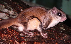 Southern Flying Squirrel-27527-1.jpg
