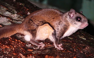 Southern flying squirrel - Image: Southern Flying Squirrel 27527 1