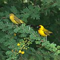 Southern Masked Weavers (6577864837).jpg