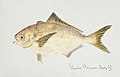 Southern Pacific fishes illustrations by F.E. Clarke 25.jpg