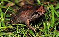 Southern Smooth Froglet (Geocrinia laevis) (8743399897).jpg