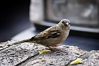 Sparrow on ledge.jpg