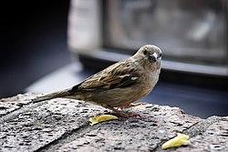 http://upload.wikimedia.org/wikipedia/commons/thumb/6/63/Sparrow_on_ledge.jpg/250px-Sparrow_on_ledge.jpg