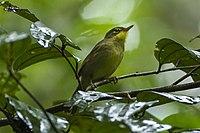 Spectacled Greenbul - Madagascar S4E7249 (17051185851).jpg