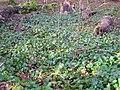 Speir's ivy garden.JPG