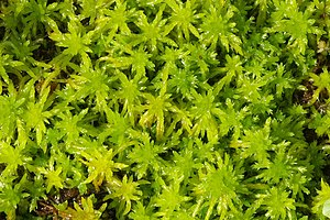 Sphagnales - a clump of Sphagnum, peat moss