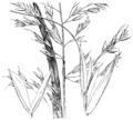 Sphenopholis pensylvanica HC-1950.png