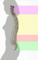 Spinal column curvature (dumb version).png