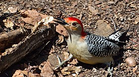 Spinus-red-bellied-woodpecker-2015-04-n030812-w.jpg