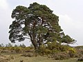 Spreading Scots pine tree, Redrise, New Forest - geograph.org.uk - 425886.jpg
