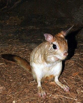 Anomaluromorpha - Pedetes capensis