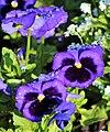 Sprinkled Violas (254591441).jpeg