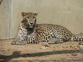 SriLankaLeopard-ZOO-Jihlava.jpg