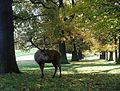 Stag, Wollaton Park - geograph.org.uk - 280849.jpg