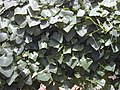 Starr-010914-0090-Coccinia grandis-dense growth on fence-Lahaina-Maui (23915442853).jpg