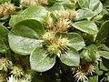 Starr-030523-0122-Alternanthera pungens-seeds-State nursery Kahului-Maui (24267051439).jpg
