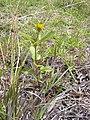 Starr-030628-0037-Bidens pilosa-habit-Auwahi-Maui (24007721034).jpg