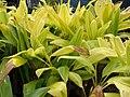 Starr-060928-0423-Cordyline fruticosa-habit-County Nursery Kahului-Maui (24866461495).jpg