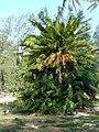 Starr-080601-5119-Cycas circinalis-habit-Halsey Dr residences Sand Island-Midway Atoll (24818063291).jpg