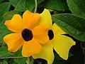 Starr-080716-9361-Thunbergia alata-cv Sundance yellow flowers-Enchanting Gardens of Kula-Maui (24556433909).jpg