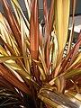 Starr-090426-6319-Phormium tenax-leaves-Kulamalu Town Center Kula-Maui (24952486675).jpg