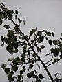 Starr-090519-7980-Ficus religiosa-leaves-Kula-Maui (24324945524).jpg