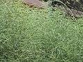 Starr-090721-3257-Asparagus officinalis-inflorescences-Wailuku-Maui (24602854349).jpg