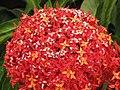 Starr-090806-3844-Ixora sp-flowers-Wailuku-Maui (24853412912).jpg
