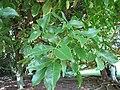 Starr-091104-9196-Melicoccus bijugatus-leaves-Kahanu Gardens NTBG Kaeleku Hana-Maui (24361932503).jpg