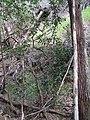 Starr-091115-1178-Macadamia integrifolia-wild-Olinda-Maui (24990000325).jpg