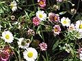 Starr-100603-6875-Erigeron karvinskianus-flowers-Polipoli-Maui (24946567401).jpg