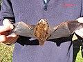 Starr-100907-9091-Eucalyptus sp-habitat with Hawaiian hoary bat Lasiurus cinereus semotus-Olinda-Maui (24424642113).jpg