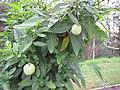 Starr-110217-1522-Solanum muricatum-fruit and leaves-Olinda-Maui (25050087556).jpg