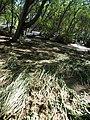 Starr-110312-6378-Solanum americanum-after tsunami-Kanaha Beach-Maui (24448926004).jpg