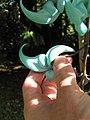 Starr-110330-3817-Strongylodon macrobotrys-flower-Garden of Eden Keanae-Maui (25080779735).jpg