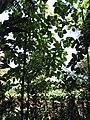 Starr-110330-4119-Tectona grandis-habit-Garden of Eden Keanae-Maui (24987952601).jpg