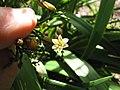 Starr-110411-4944-Dianella sandwicensis-flower and brown fruit form sandwicensis-Hawea Pl Olinda-Maui (25082518385).jpg