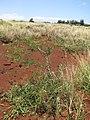 Starr-110412-5128-Pithecellobium dulce-spreading in abandoned pineapple fields-Kahana West Maui-Maui (25056430766).jpg